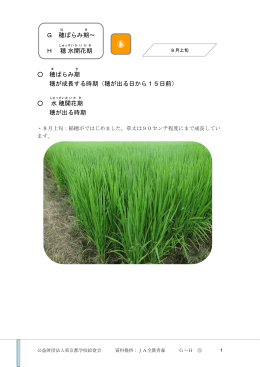 穂 ばらみ期 穂が成長する時期(穂が出る日から15