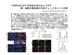 HORMAD2がATR活性を呼び込んで示す 第1減数分裂前期の対合
