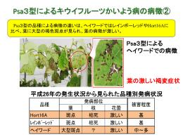 Psa3型によるキウイフルーツかいよう病の病徴②
