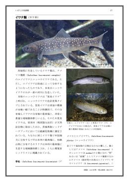 イワナ類(サケ科)