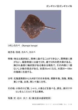 ガンギエイ目ガンギエイ科 コモンカスベ Okamejei kenojei 地方名・別名