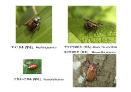 マメコガネ. [学名], Popilliae japonica セマダラコガネ. [学名], Blitopertha