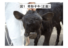 図1 奇形子牛(正面)