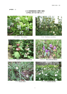 小石川植物園貴重な塀際の植物 (正門側工事予定の塀の近く)