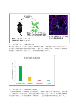 各細胞種の系譜追跡