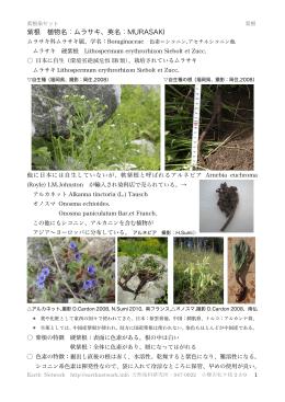 紫根 植物名:ムラサキ、英名:MURASAKI